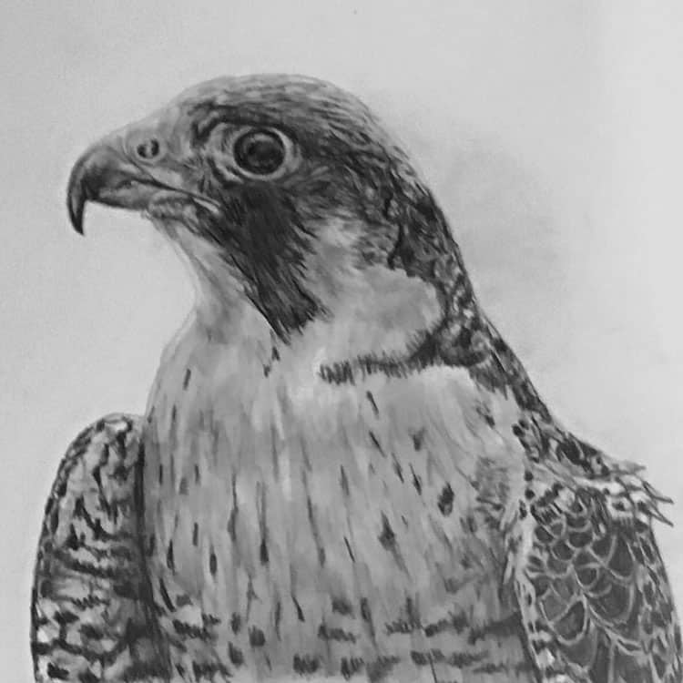 pet portraits falcon