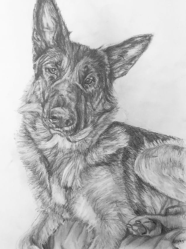 german shephard portrait